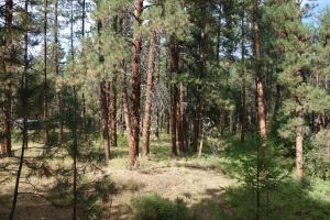 Stands of Ponderosa Pines at the Kettle River Provincial Campground